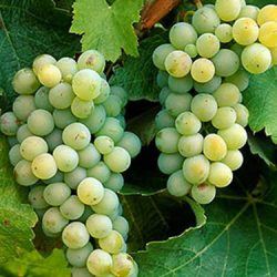 white_sauvignon_blanc_grapes